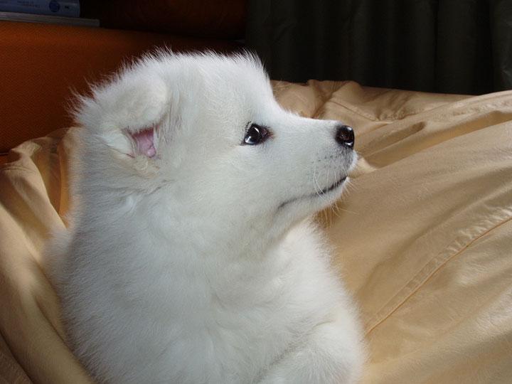 щенок самоеда