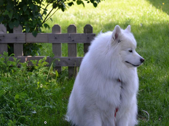 порода собак самоедская лайка