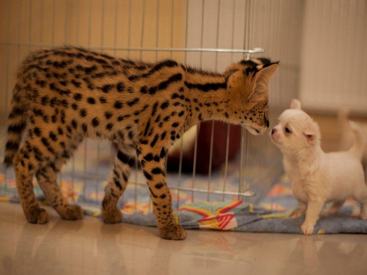 котенок сервала