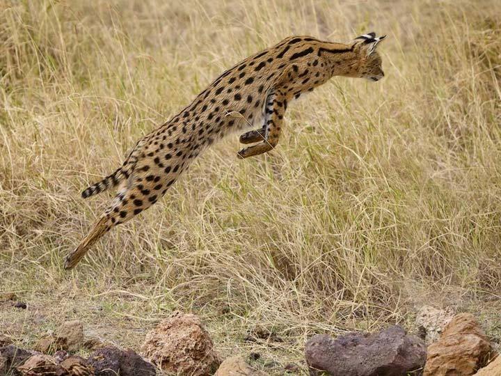 Сервал кустарниковая кошка