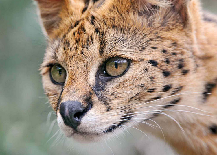 Сервал порода кошек