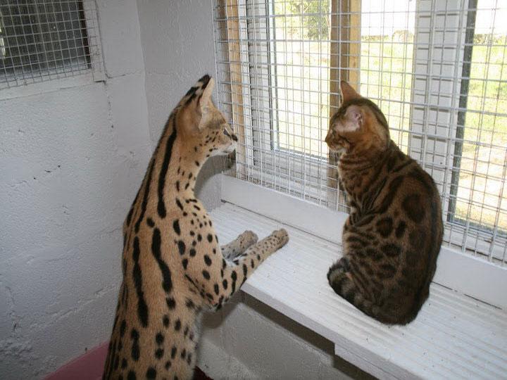 сервал домашняя кошка