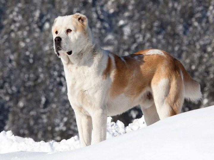 Центаральная собака азии стандарт