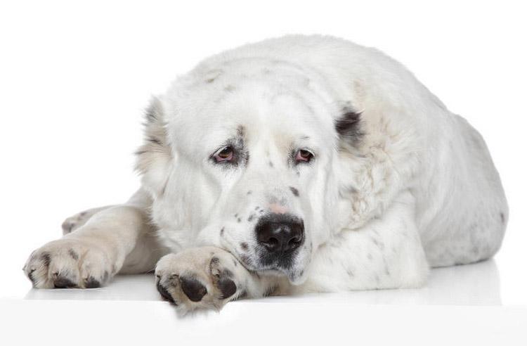 порода собак туркменский волкодав