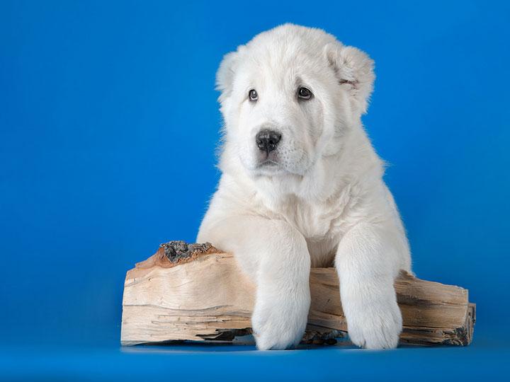 щенок туркменского волкодава