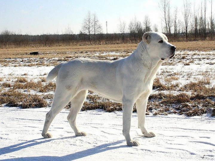 порода собак САО