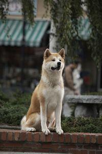 Акита-ину сидит на улице