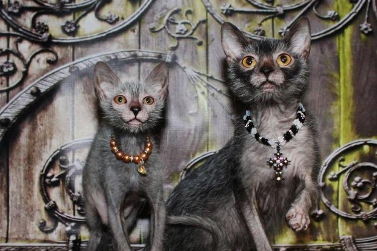 Кошки ликои