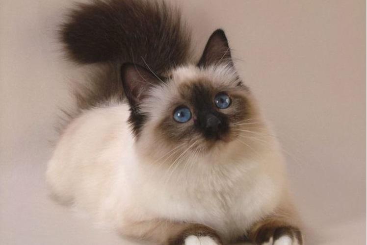 Пушистая балинезийская кошка