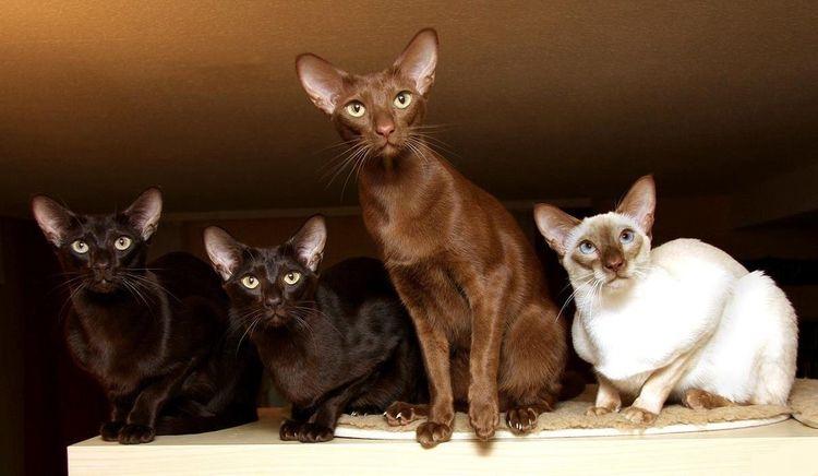 Четыре котенка яванез