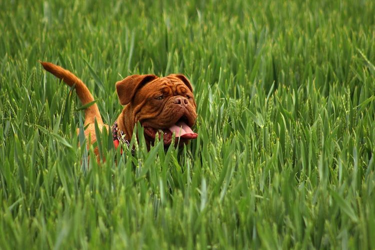Пес в высокой траве
