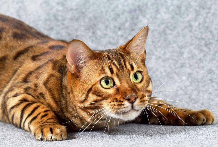 порода леопардовый окрас