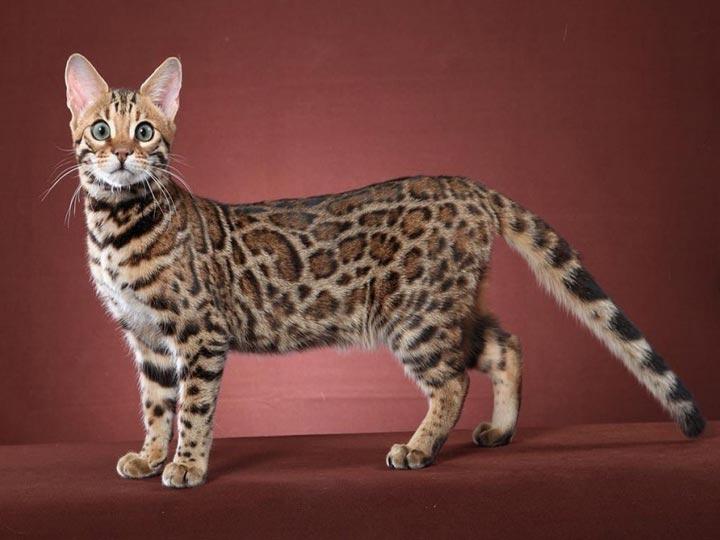 леопардовый окрас