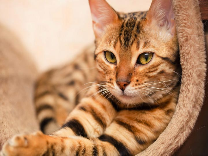 домашняя кошка леопард