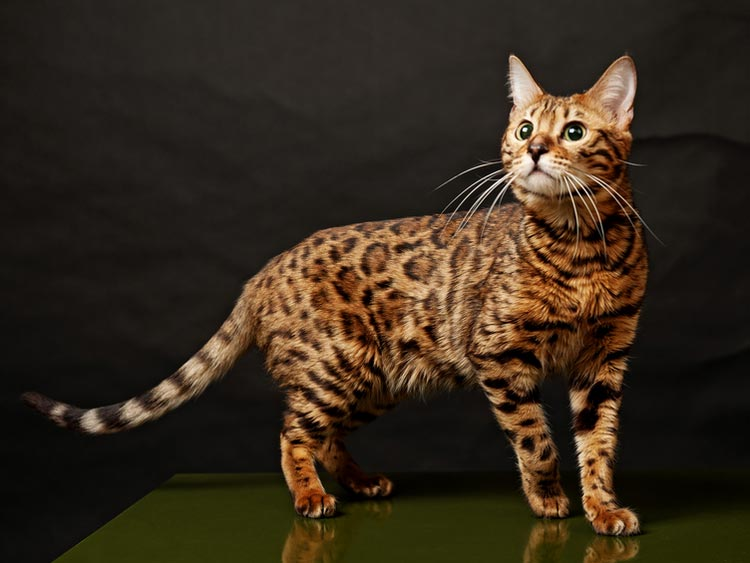 Кошка пятнистая как леопард
