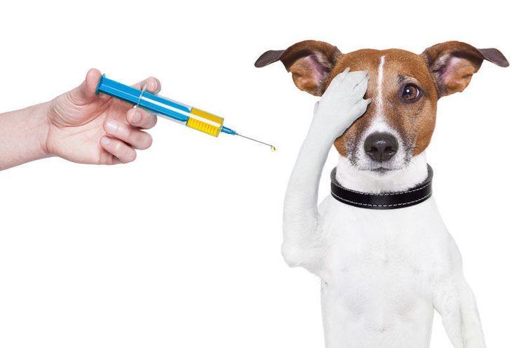 Собака боится укола