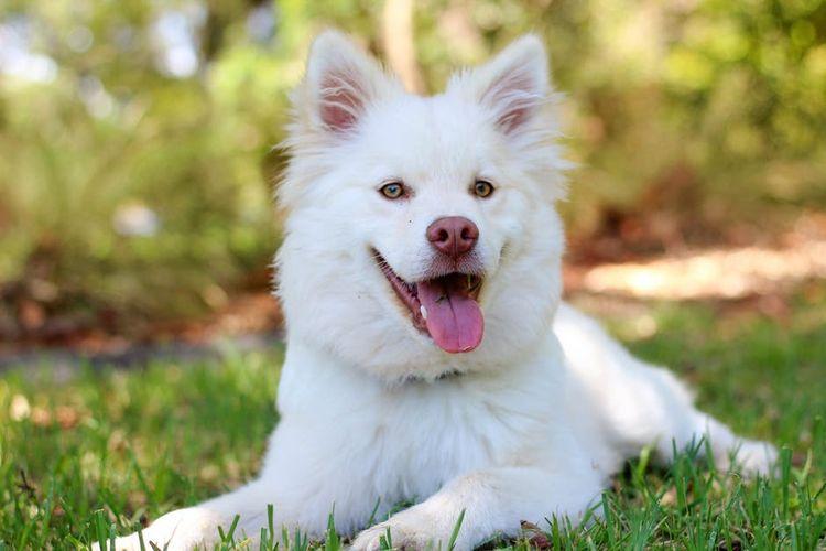Белая собака лежит