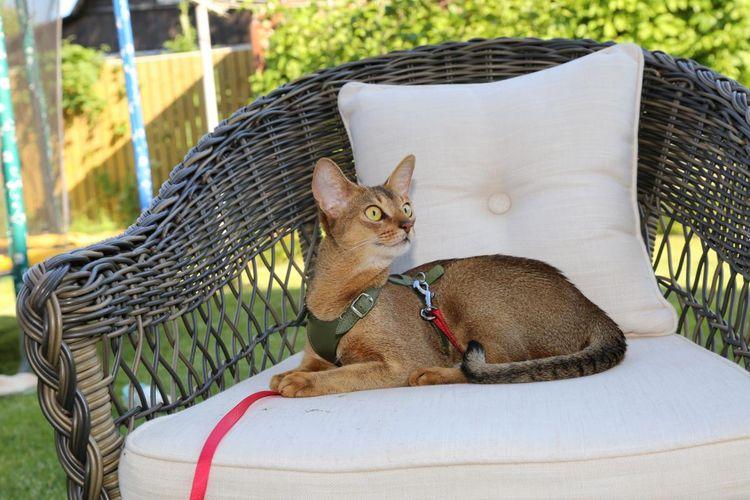 Кошка из питомника Astragalus