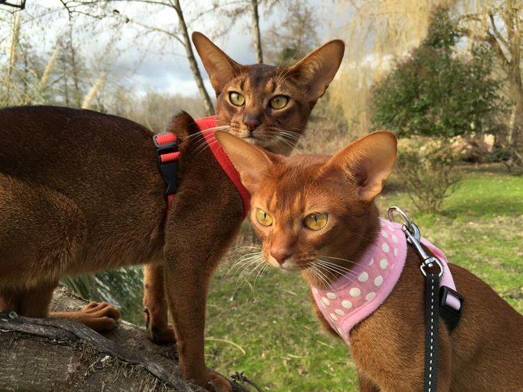 Кошки из питомника Savage*Ru