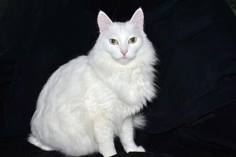 Кошка породы турецкая ангора