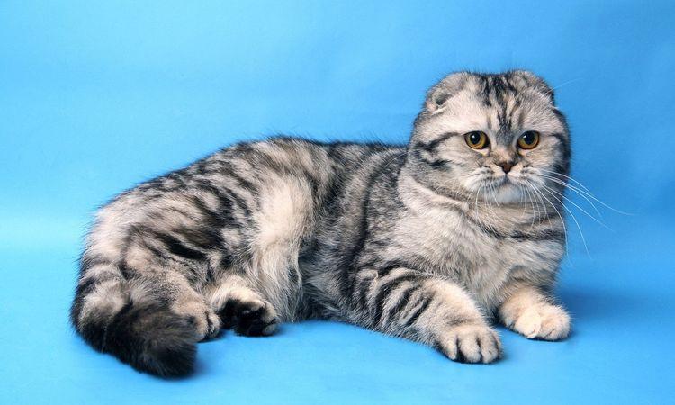 Британская вислоухая кошка на голубом фоне