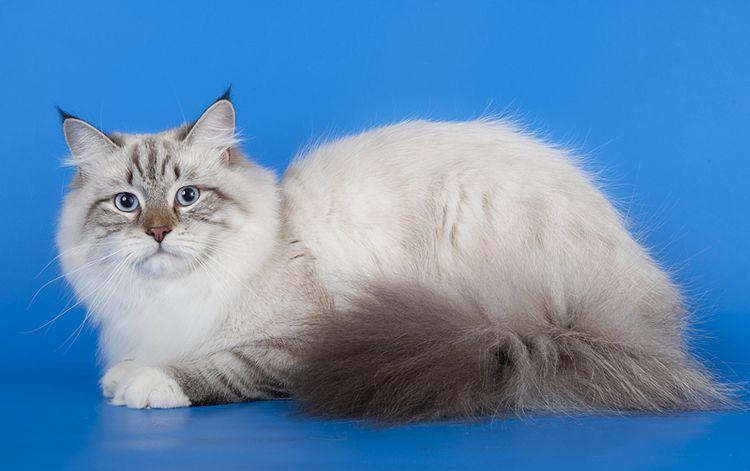 Кошка на синем фоне