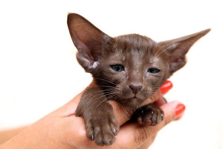 Ориентальный котенок шоколадного окраса