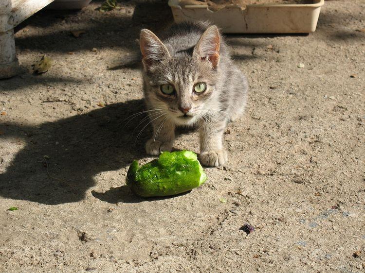 Кошка ест огурец