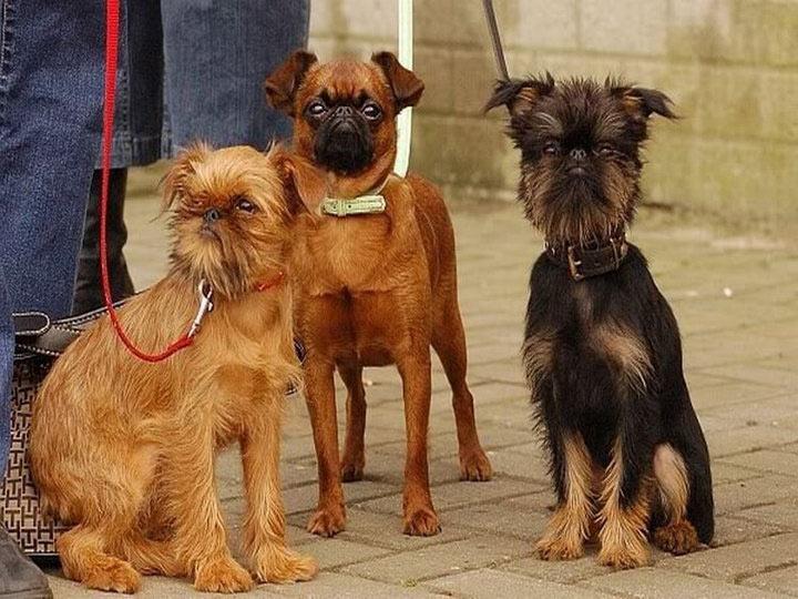 гриффоны порода собак