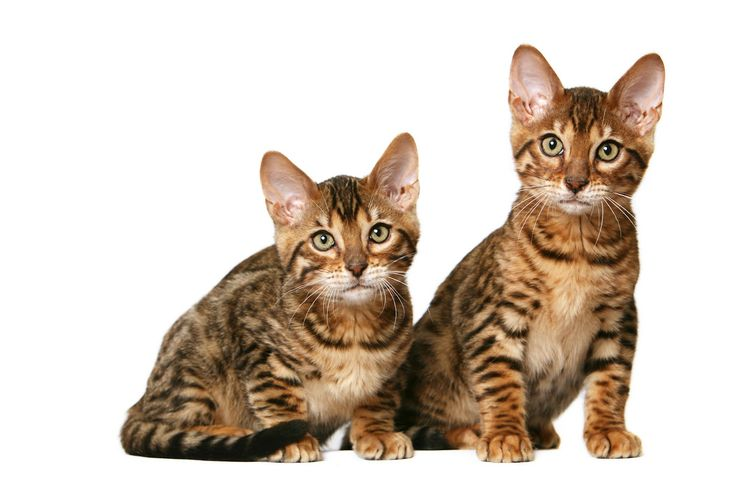 Кошки породы Тойгер