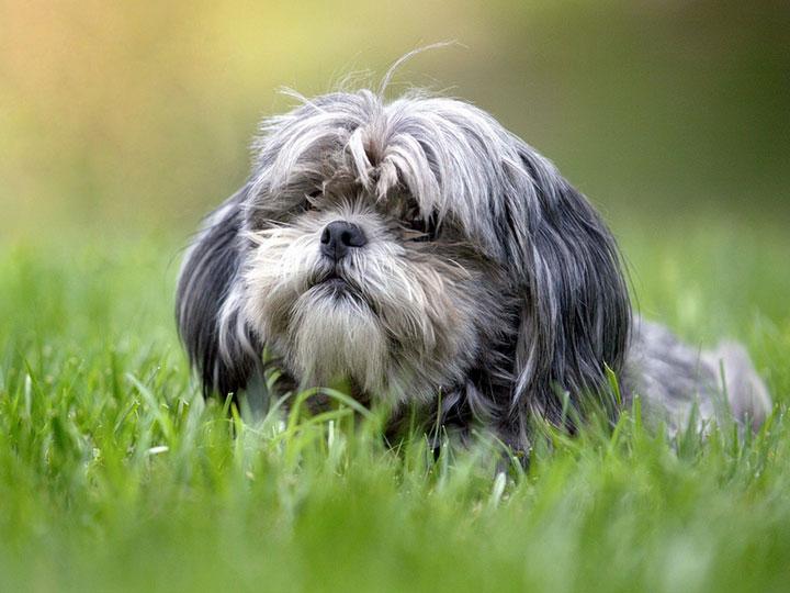 щенок шицу