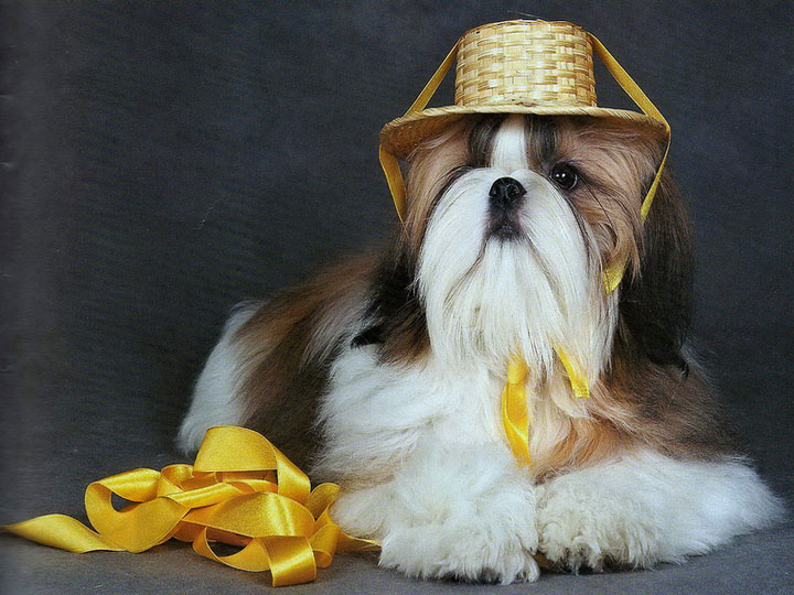 собака породы ши-тцу