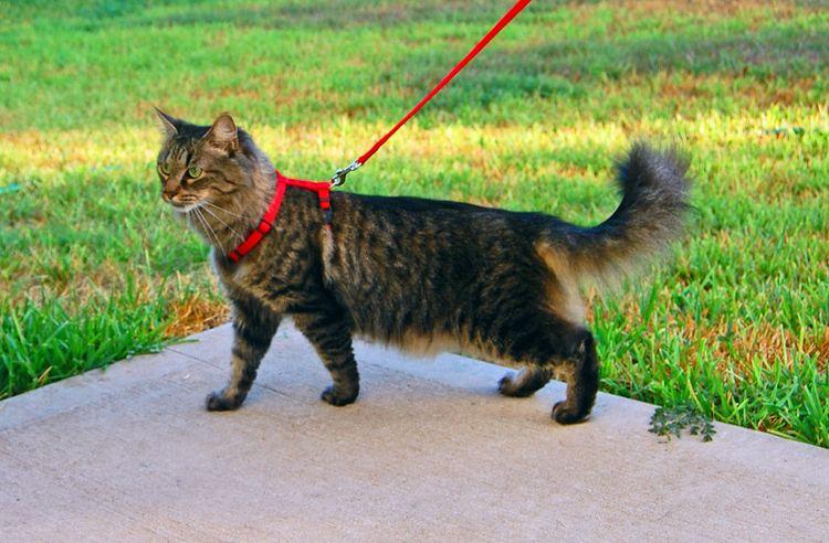 Поводок-шлейка для кошек