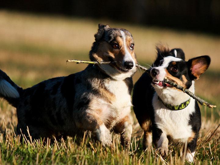 собаки породы корги кардиган