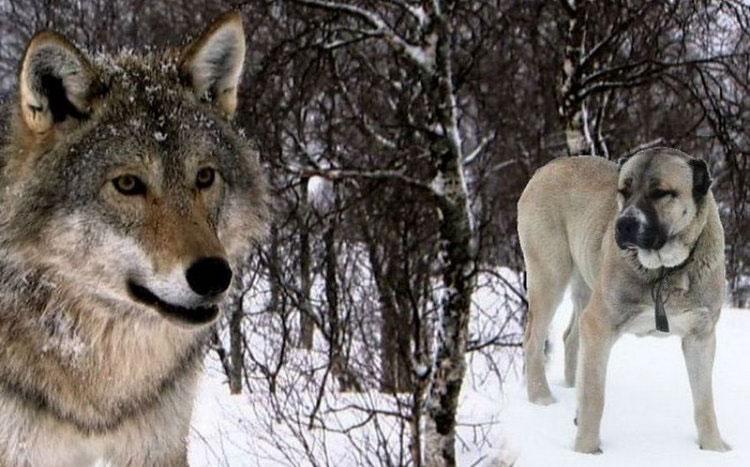 Wolfhound: порода куче или цел?