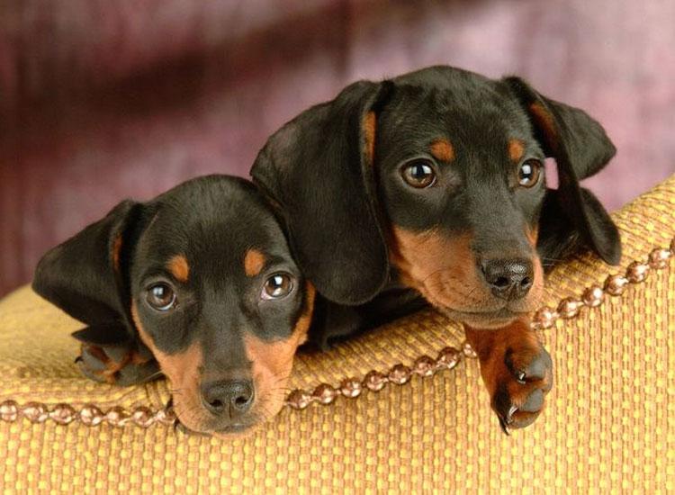 цена щенка Добермана
