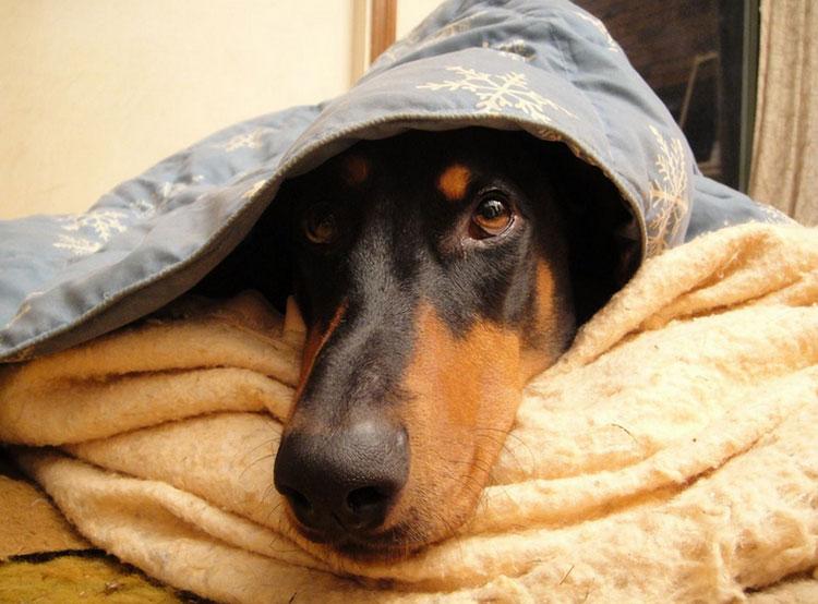 Доберман под одеялом