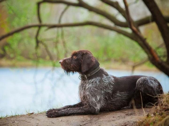 порода собак немецкий дратхаар