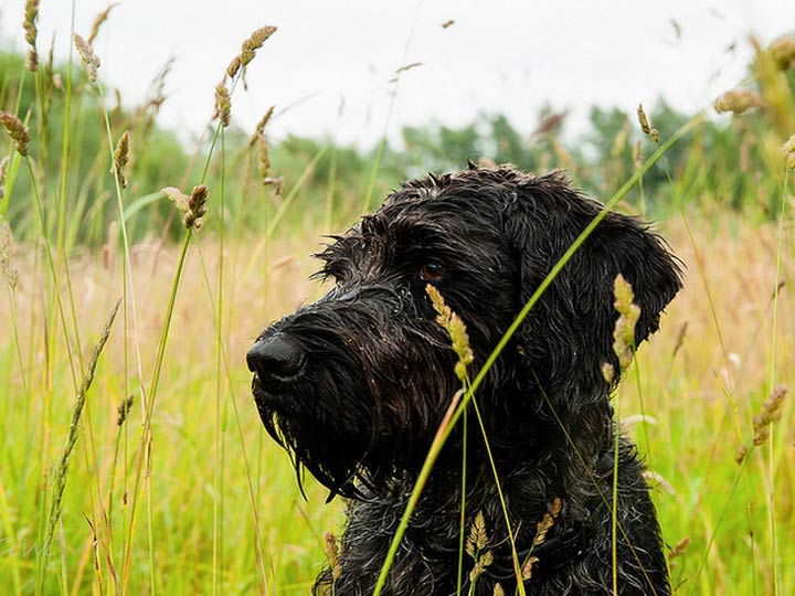 собака немецкий дратхаар