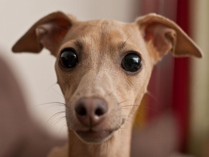 собака породы левретка