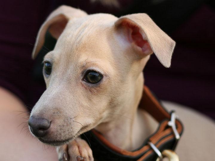 красивый щенок левретки