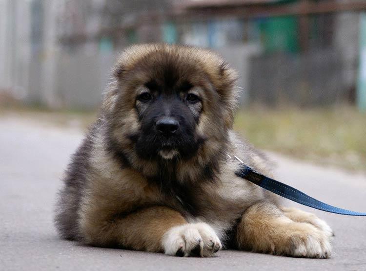 Кавказская овчарка щенок