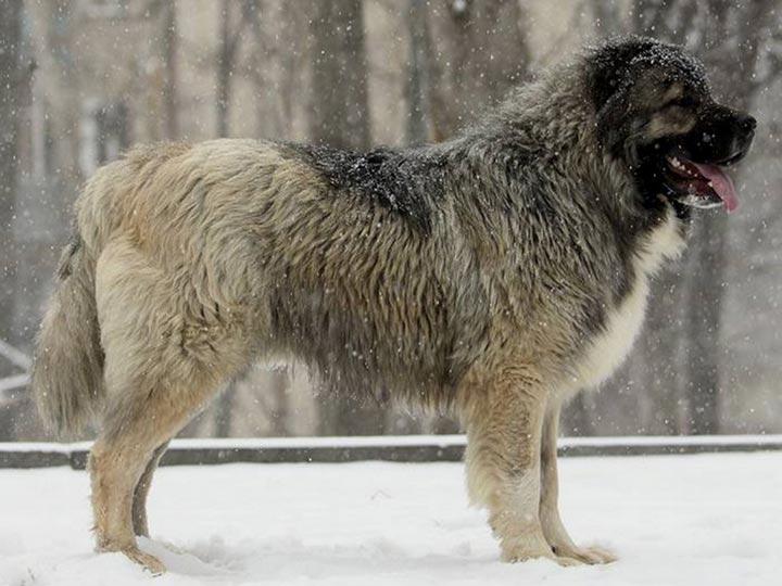 Кавказская овчарка в снегу