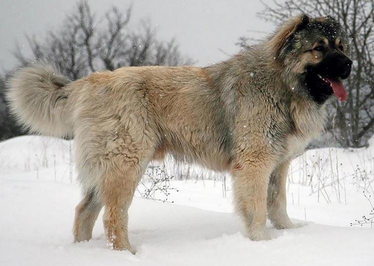 Кавказская овчарка содержание