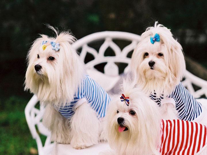 собаки мальтезе