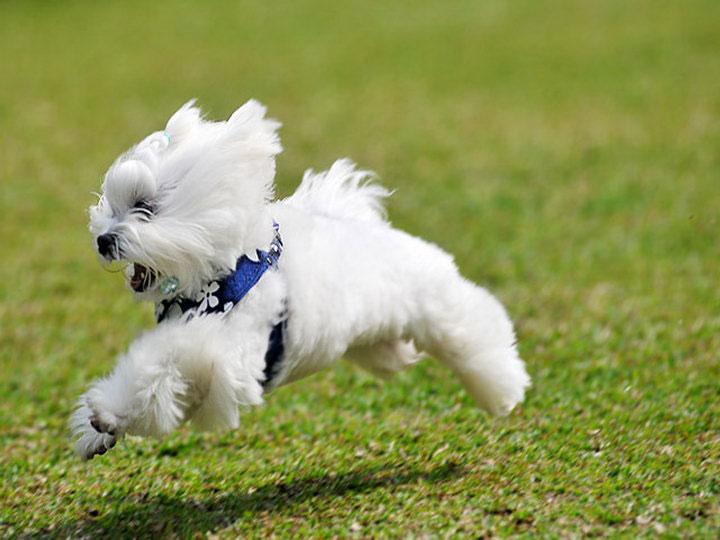 собака породы мальтезе