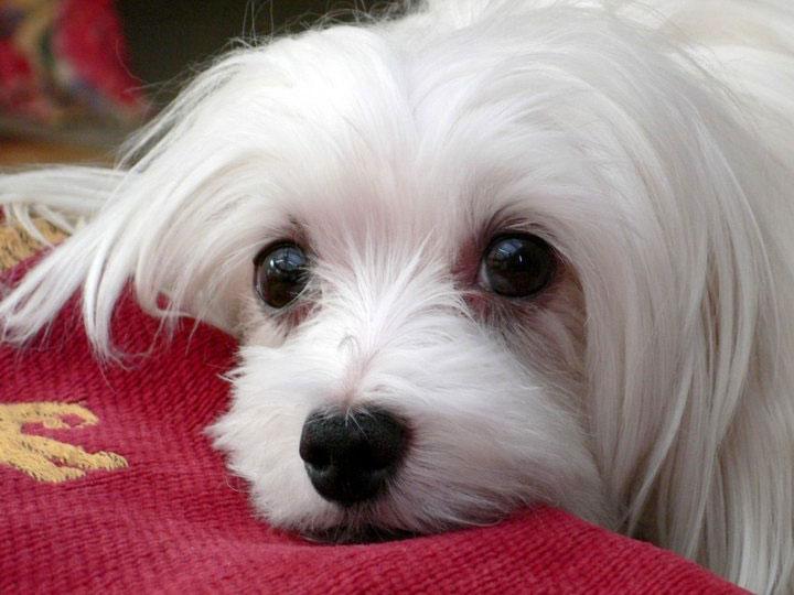 мальтийская болонка собака
