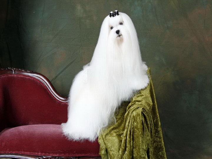 проода собак мальтийская болонка