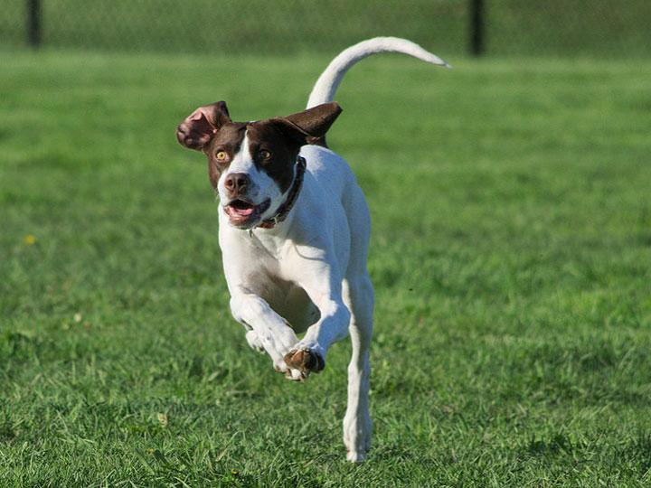 подрощенный щенок пойнтера