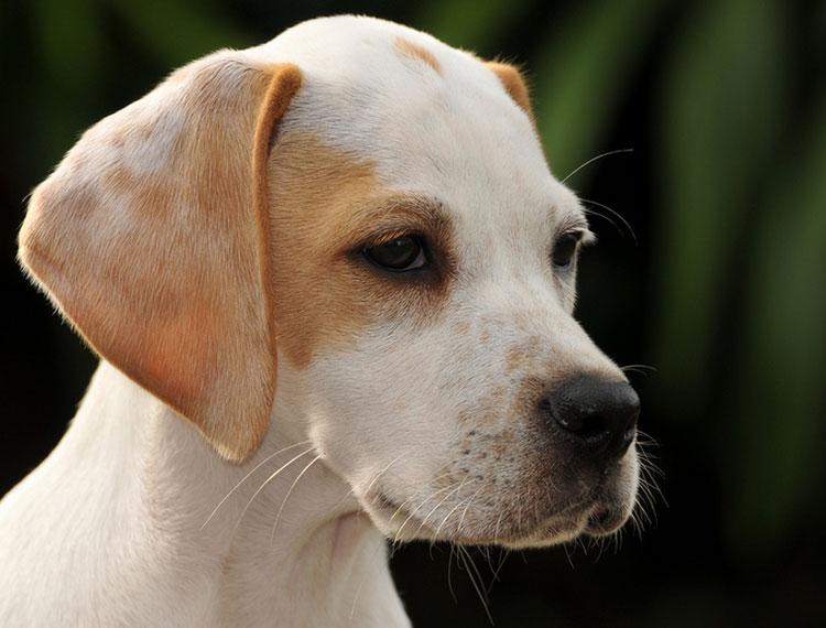 щенок пойнтера